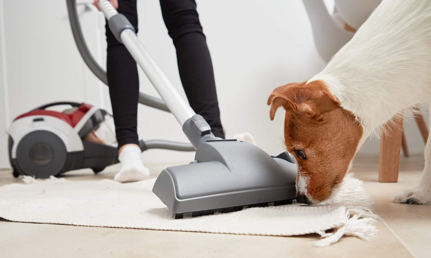 Curious dog looks at the vacuum cleaner