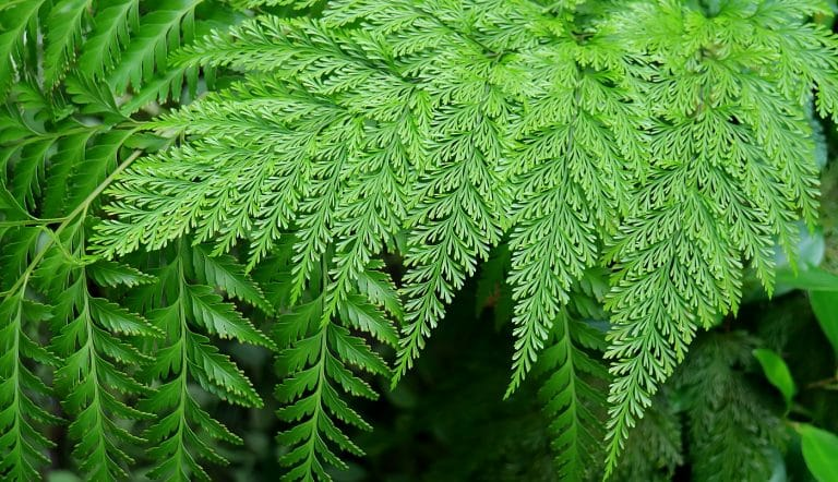 Types Of Ferns To Consider For Your Home 01