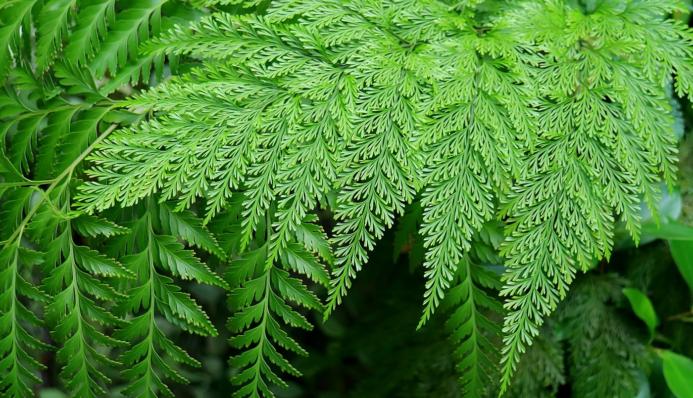 Types Of Ferns To Consider For Your Home