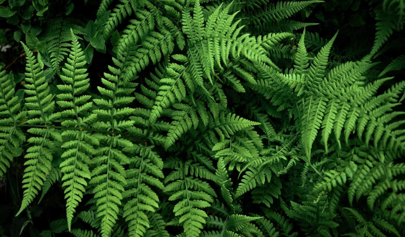 Fern leaf, Decorative foliage. Dark forest with large leaves of plants on a summer day