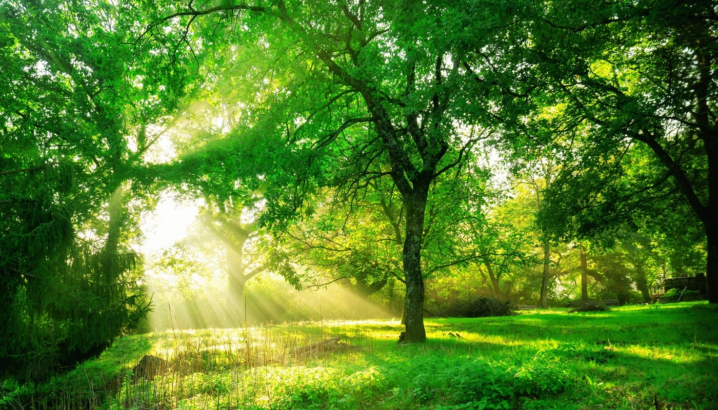 Green forest background with morning sunrise in spring season. Nature landscape.